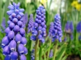 Grape hyacinth / Muscari