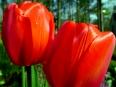 Tulip / Tulipa