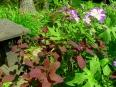 Cranesbill / Geranium