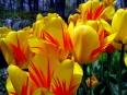 Variegated tulip / Tulipa variegata