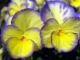 Pansy / Viola tricolor