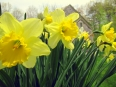 Daffodil / Narcissus
