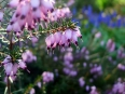 Common heather / Calluna vulgaris