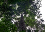 The towering castanha-do-pará (Brazil nut) tree provides locals with nourishment and marketable goods.