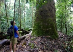 Trek-make Leonardo contemplating another Amazonian behemouth, the apuí tree.