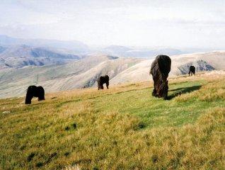 Fell Horses