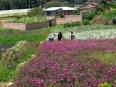 Farmers harvesting flowers for the regional market in Quillacollo