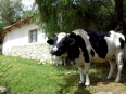 Friendly cow at the Simón Patiño Foundation's organic dairy farm, a model in sustainable farming