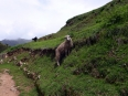 A sheep grazing on the soon-to-be-restored terraces of Chinchero
