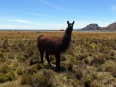 No Bolivian farmland would be complete without an Andean cameloid