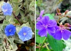 Despite the dark and rainy day, many splendid blooms were spotted along the trail. Here are some blue-hued beauties.