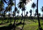 Dendé palms line the coast of Tinharé Island, its rich oil flavors such Bahian delicacies as moqueca (seafood stew) and acarajé (bean and shrimp fritters)