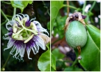 Maracujá (passion fruit) blossom and ripening fruit... this is my all-time favorite flavor found throughout Brazil