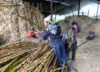 At a sugar cane processing plant, here the canes are pressed to squeeze out the sugary guarapo