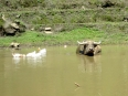 Water buffalo in the rice paddies, perfect spot for a hot and sunny day
