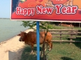Cow seeking some shade behind a Lunar New Year billboard outside of Hoi An