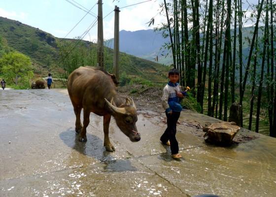 Sidewalk for animals: water buffalo