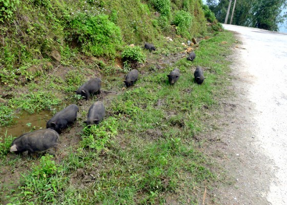 Vietnamese pot-bellied pigs roaming and rooting in the road