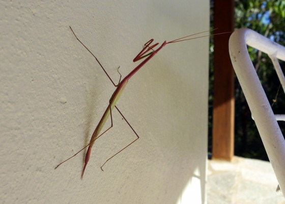 Praying mantis or phasmatodea? Potato, potahto...