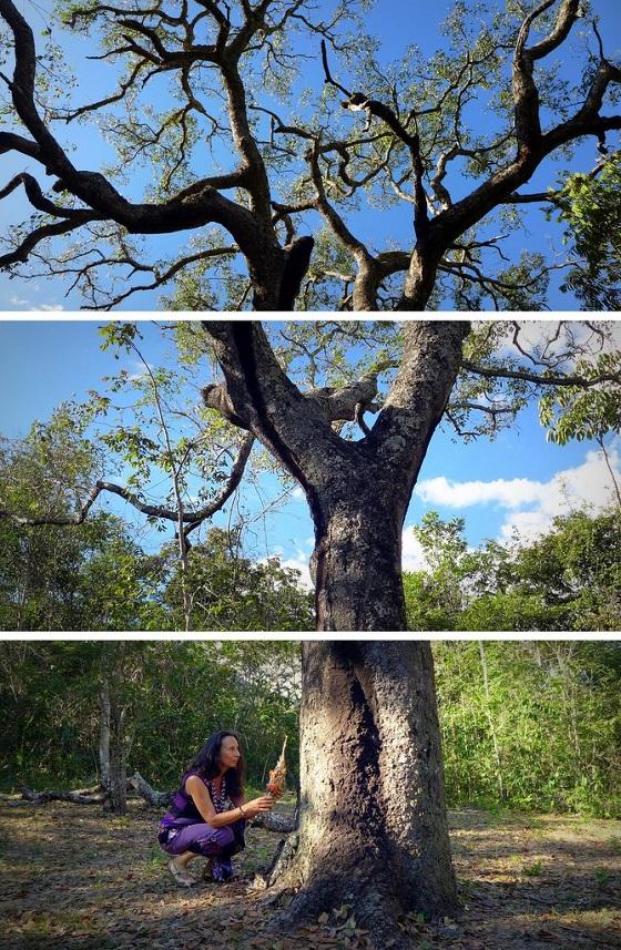 Julia honoring the healing power of the towering pai jatobá tree